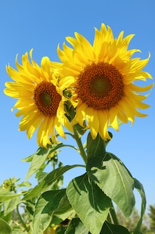Vertical image of a pair of vibrant yellow sunflowers against sunny blue sky