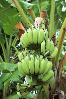 Vertical image of tropical banana tree with bunch of unripe fruits in the countryside
