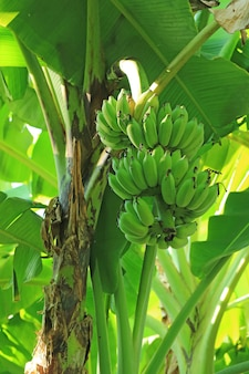 Vertical image of tropical banana tree with unripe fruits in the countryside of thailand
