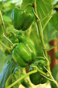 Vertical image of unripe green bell pepper on the tree