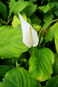 Vertical image of a white flamingo flower among vibrant green foliage