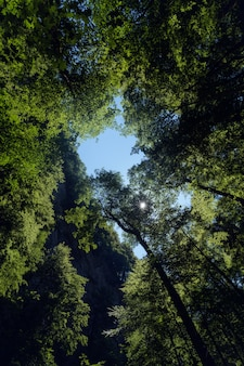 크로아티아의 skrad 지방 자치 단체의 숲에서 키가 큰 나무의 수직 낮은 각도 샷