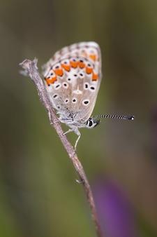 Colpo verticale del fuoco di macro della farfalla di polyommatus
