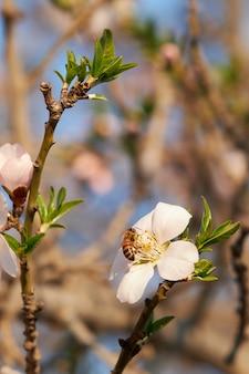 흐린 벽과 햇빛 아래 정원에서 살구 꽃에 꿀벌의 수직