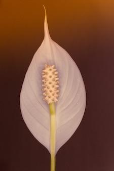 光に照らされたスパティフィラムの花の垂直