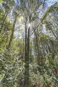고층 나무가 가득한 숲 위로 빛나는 태양의 수직