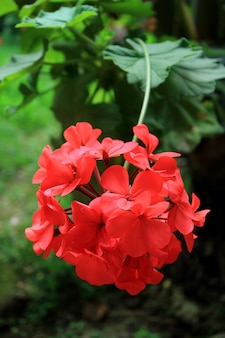 Vertical photo of blooming red geranium flowers with blurred green foliage in background