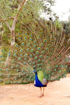 Vertical photo of a colorful peacock with all its tail unfolded showing its long feathers to visitors.