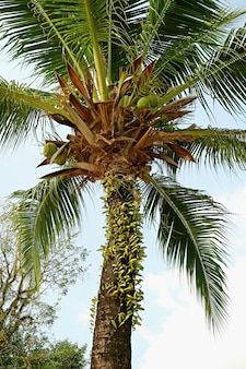 Vertical photo of low angle a fruitful coconut palm tree against light blue sky