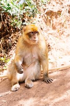 モロッコの乾燥した地形で地面に座っている猿の垂直写真
