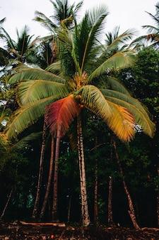さまざまな色の葉を持つヤシの木の垂直写真。コスタリカ