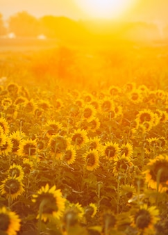 Вертикальное фото подсолнухов, смотрящих на солнце в утреннее время во время восхода солнца.