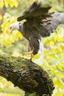 Vertical picture of a flying bald eagle surrounded by greenery under the sunlight