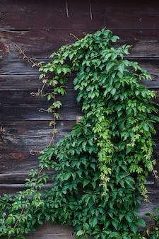 日光の下で壁に登る茂みのクリーパーの垂直方向の写真