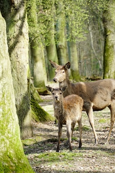 日光の下で森の中の木々に囲まれた2頭のアカシカの垂直方向の写真