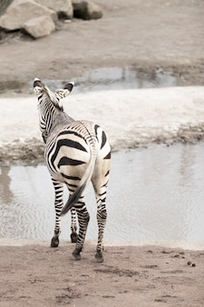 Vertical picture of a zebra near a lake under the sunlight with a blurry background