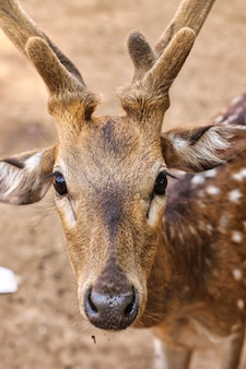 Vertical portrait of a cute chital deer