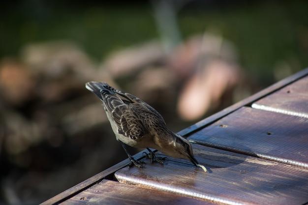 Messa a fuoco selettiva verticale di un mockingbird cileno durante il giorno con uno sfondo sfocato