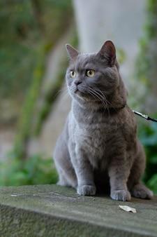 Primo piano verticale del fuoco selettivo di un gatto grigio a pelo corto britannico