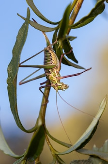 Vertical selective focus closeup of a saddle-backed bush cricketon the stem of a plant