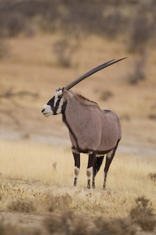 Vertical selective focus of a gemsbok captured in the desert