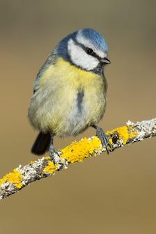 Messa a fuoco selettiva verticale di un bellissimo uccello azzurro sul ramo di un albero