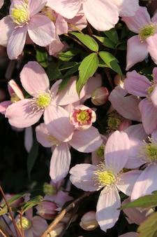 Colpo verticale del fuoco selettivo di bei fiori del montana della clematide