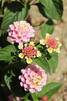 Colpo di messa a fuoco selettiva verticale di bellissimi fiori di lantana camara con uno sfondo sfocato