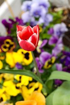 Colpo verticale del fuoco selettivo di un bel tulipano rosso