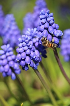 Vertical selective focus shot of a bee on blue armenian muscari plants
