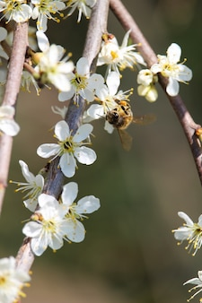 Vertical selective focus shot of a bee on cherry blossoms