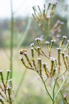 Colpo verticale del fuoco selettivo di un'ape sul ramo di erba dolce