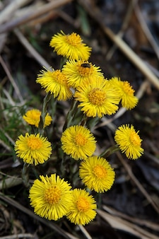 Vertical selective focus shot of a bunch of coltsfoot flowers