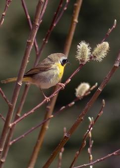 Colpo di messa a fuoco selettiva verticale di common yellowthroat warbler appollaiato su un ramo