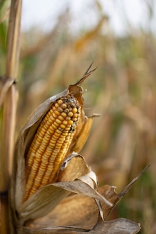 Vertical selective focus shot of a corn with a blurry of a cornfield