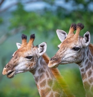 Vertical selective focus shot of giraffes with trees on the background