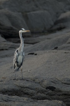 Vertical selective focus shot of grey heron on a rock