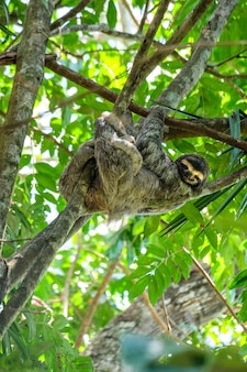 Vertical selective focus shot of a happy three-toed sloth hanging out in the middle of the forest