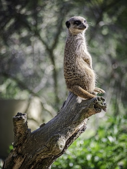 Vertical selective focus shot of a meerkat on a trunk in branitz park in germany