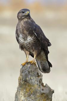 바위에 자리 잡고 일반적인 독수리의 수직 선택적 초점 샷