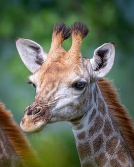 Вертикальный снимок селективного фокуса жирафа с деревьями