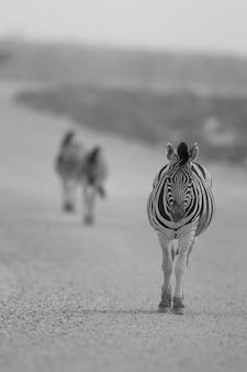 사막 한가운데 자갈 길을 걷는 얼룩말의 세로 선택적 포커스 샷