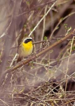 Вертикальный снимок с селективным фокусом: обыкновенная камышевка желтогорлая, сидящая на ветке