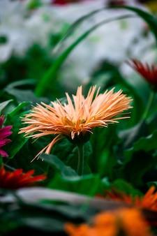 산호 거베라 꽃의 수직 선택적 초점 샷