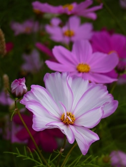 코스모스 꽃의 수직 선택적 초점 샷
