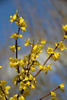 푸른 하늘 아래 개나리 꽃의 수직 선택적 초점 샷