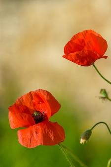 빨간 양귀비 꽃의 수직 선택적 초점 샷
