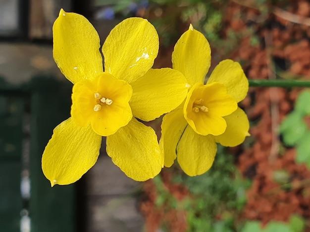 노란색 cowslip 꽃의 수직 선택적 초점 샷