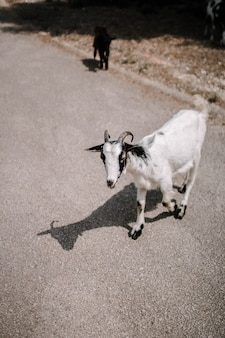 Vertical selective focus shot of a white goat on the road in the countryside