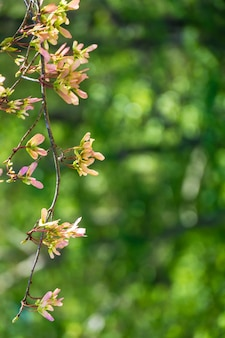 Vertical selective focus view of apple blossom flowers with a blurry green background